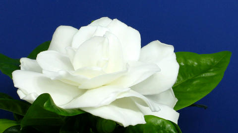 Time-lapse of gardenia flower opening 2 Stock Video Footage