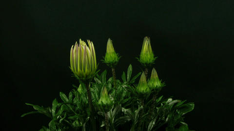 Time-lapse of growing gazania flower 2 Stock Video Footage