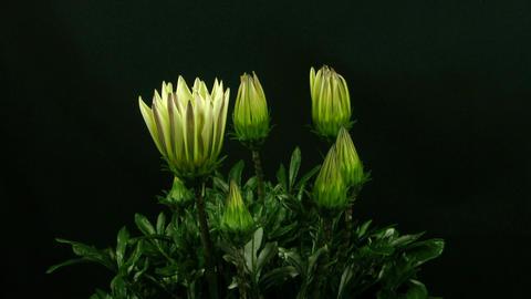Time-lapse of growing gazania flower 2 Stock Video Footage