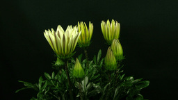 Time-lapse of growing gazania flower 2 Footage