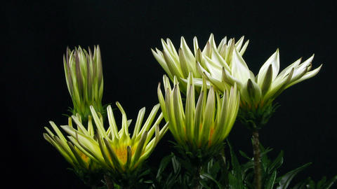 Time-lapse of growing gazania flower 4 Stock Video Footage