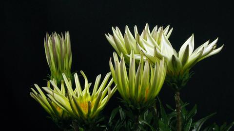 Time-lapse of growing gazania flower 4 Stock Video Footage