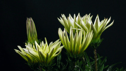 Time-lapse of growing gazania flower 4 Footage