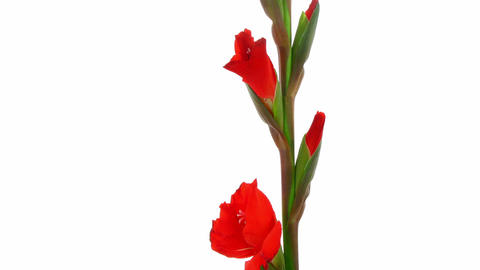 Time-lapse of red gladiolus flower opening 1 Stock Video Footage