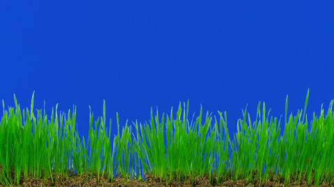 Time-lapse of growing decorative Easter grass against blue background 1 Footage
