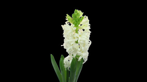 Time-lapse growing white hyacinth Christmas flower ALPHA... Stock Video Footage