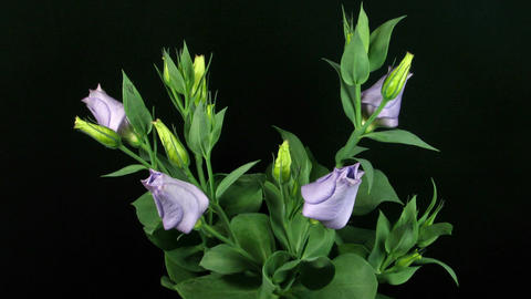 Time-lapse of blooming eustoma 1 (part A) Stock Video Footage