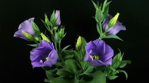 Time-lapse of blooming eustoma 1 (part A)