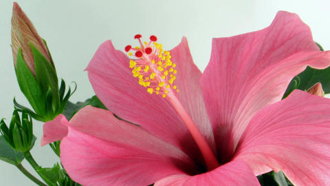 Time-lapse of pink hibiscus flower opening 2 Stock Video Footage