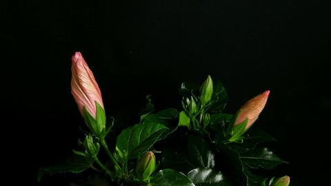 Time-lapse of pink hibiscus flowers opening 4 Stock Video Footage