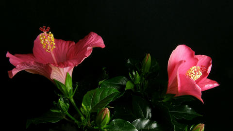Time-lapse of pink hibiscus flowers opening 4 Footage