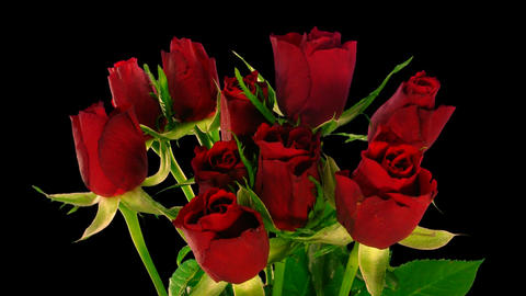 Time-lapse of opening red roses bouquet ALPHA matte 4 Stock Video Footage