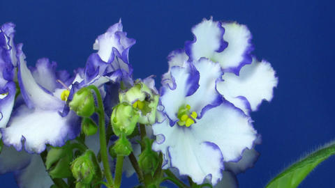 Time-lapse of white-blue saintpaulia growing 2 Stock Video Footage