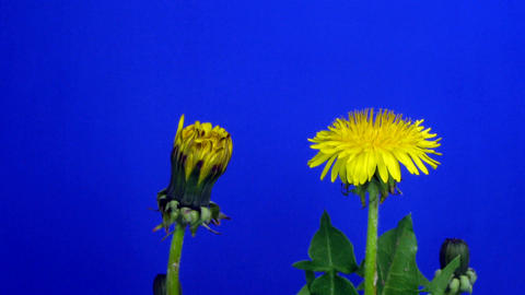 Time-lapse of blooming and closing Dandelion 2 Stock Video Footage