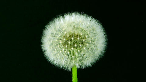 Time-lapse of growing Dandelion seeds Stock Video Footage
