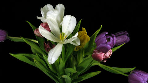 Time-lapse of fading colorful tulips bouquet 1 Stock Video Footage