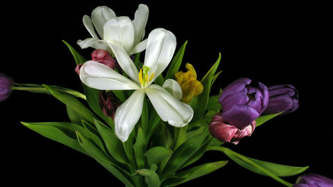 Time-lapse of fading colorful tulips bouquet 1 Footage