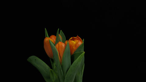 Time-lapse of opening orange tulips 2 Stock Video Footage