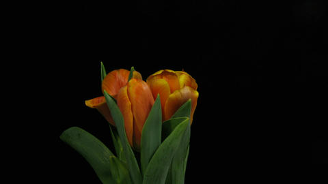 Time-lapse of opening orange tulips 2 Footage