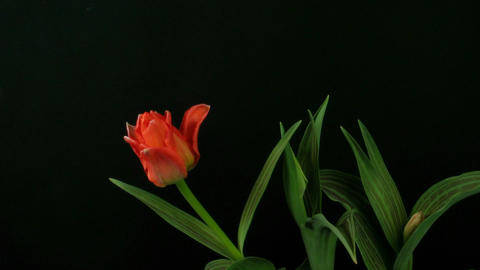 Time-lapse of growing red tulips 3 Stock Video Footage