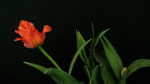 Time-lapse of growing red tulips 3 Footage