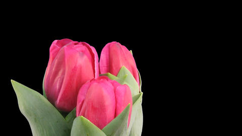 Time lapse of growing red tulips ALPHA matte 5 Stock Video Footage