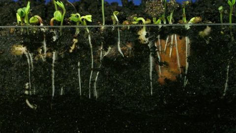 Time lapse of growing vegetables roots 2 Stock Video Footage