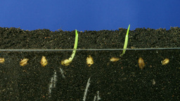 Time lapse of growing wheat seeds 3 Stock Video Footage