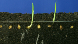 Time lapse of growing wheat seeds 3 Footage