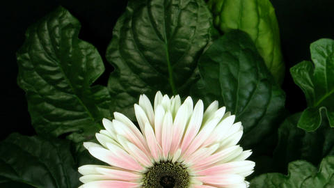 Time lapse of pink zinnia flower growing 2 Stock Video Footage