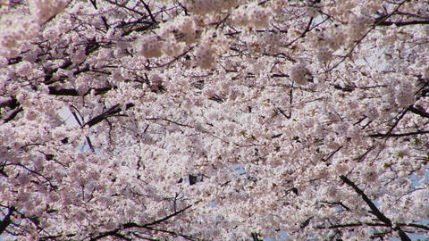 Cherry Blossoms 桜 (さくら) in Japan Stock Video Footage