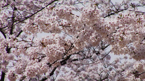Cherry Blossoms さくら in Japan Stock Video Footage