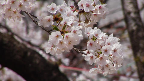 Cherry Blossoms in Japan Stock Video Footage