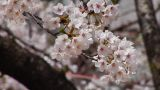 Cherry Blossoms In Japan stock footage