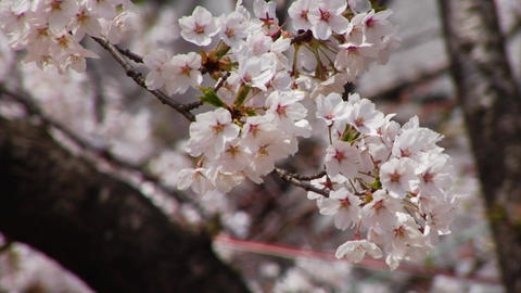 Cherry Blossoms in Japan Footage