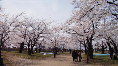 Sakura Hanami 花見 Stock Video Footage