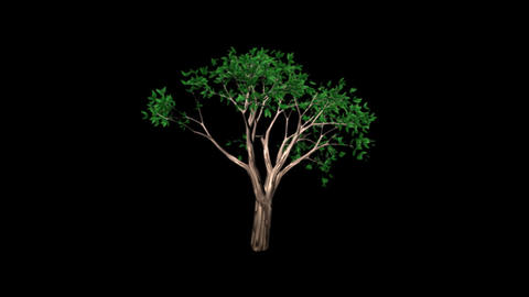 Growing Tree Animation
