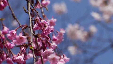 Sakura - Shidarezakura Footage