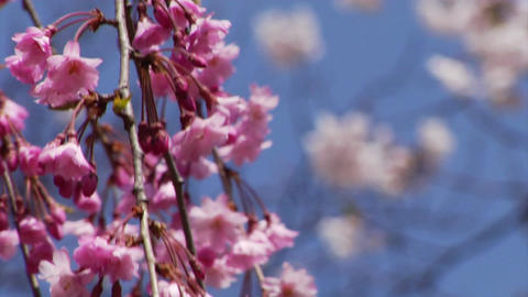 Sakura - Shidarezakura Stock Video Footage