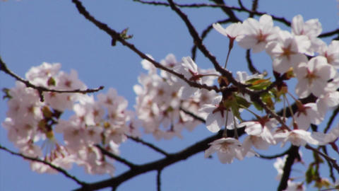 Sakura Stock Video Footage