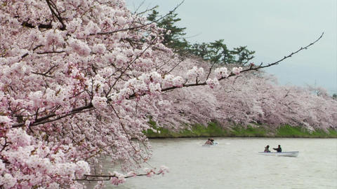 Rowing Boats Under Cherry Blossoms In Japan Stock Video Footage