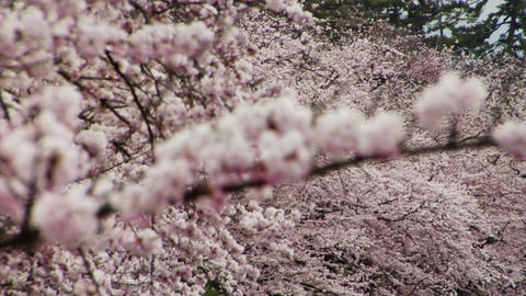 Cherry Blossoms Close Up Footage