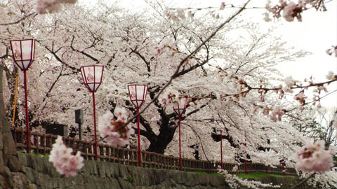 Japan Sakura Trees Stock Video Footage