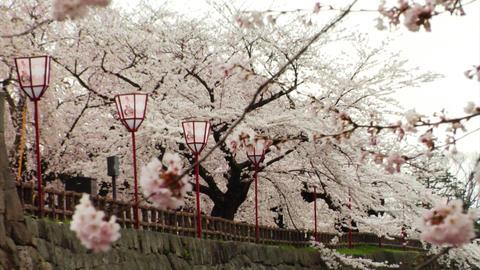 Japan Sakura Trees Footage