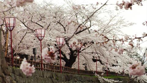 Japan Sakura Trees Stock Video Footage