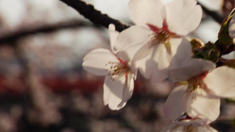 Cherry Blossoms Focus Stock Video Footage