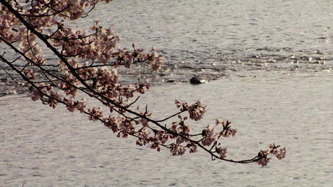 Cherry Blossoms And Water Footage
