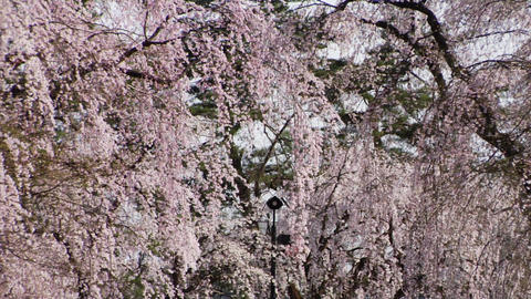 Cherry Trees Stock Video Footage