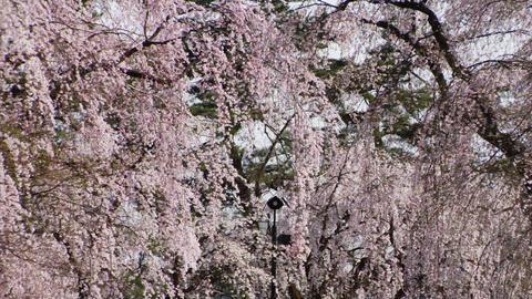 Cherry Trees Stock Video Footage