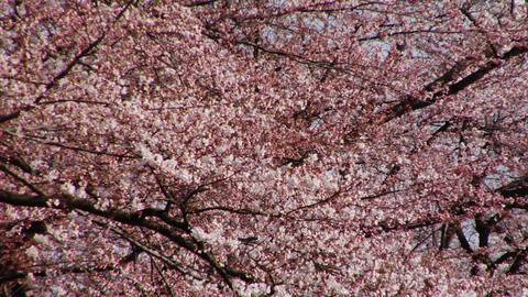 Japanese Cherry Blossoms Video Footage